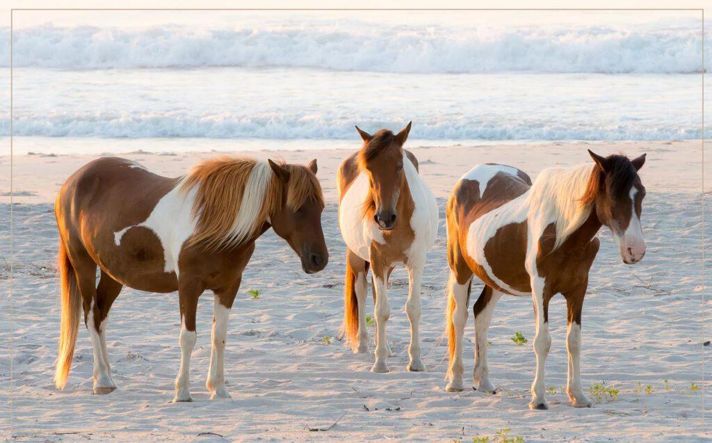 Assateague Island Horses